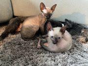 Sphynx Kitten suchen neues zu