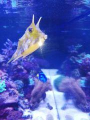 gehörnter Kuhkofferfisch