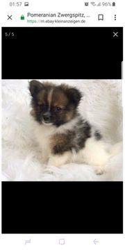 Suche Wurfankündigung Pomeranian