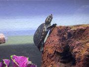 2 Moschus wasserschildkröten