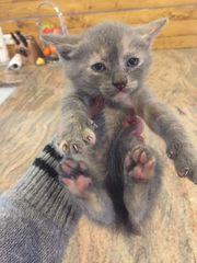 Babykatzen Katze Mix Sphynx-Britisch Katze