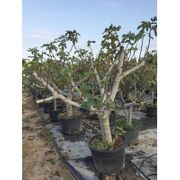 Ficus Carica brown Turkey - Feigenbaum
