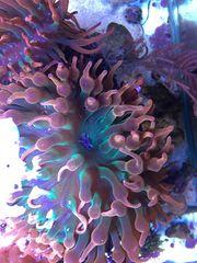 Anemone Koralle Meerwasser