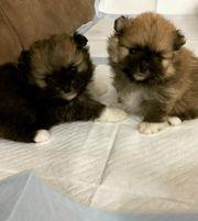 Pomeranian Spitz Teddy Boo