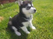 Schöne Siberian Husky Mädchen ist