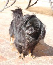 Pekinese Hunde Kaufen Verkaufen Auf Quokade