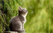 2 Norwegische Waldkatzen BKH Mix