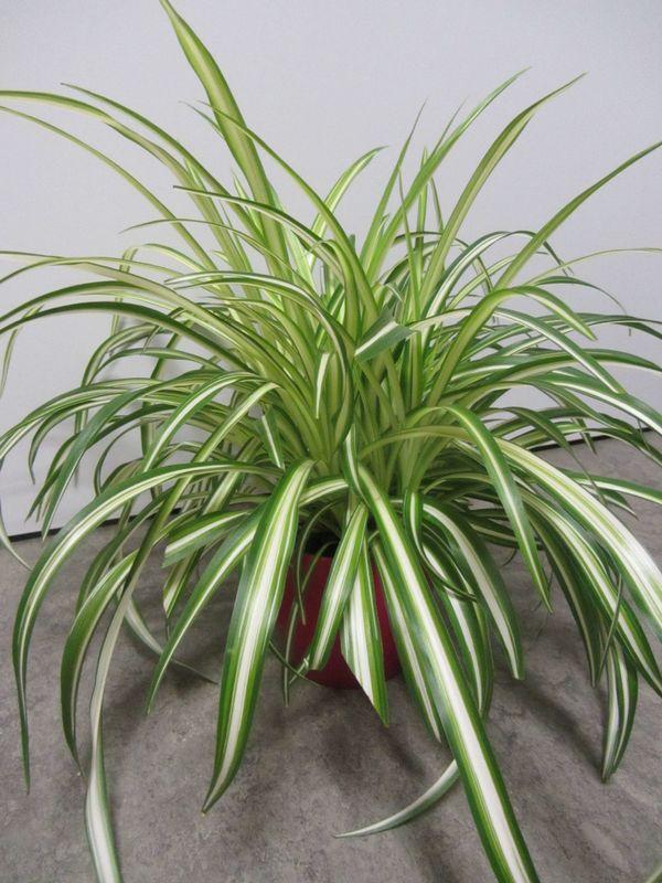 Zimmerpflanze Grünlilie Rankpflanze Yucca Begonie