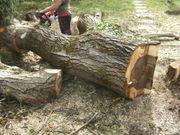 Nussbaumholz frisch geschlagener Baum große