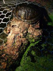 Gebe 3 Wasserschildkröten ab