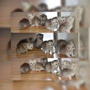 6 wundersüße Bkh kitten in