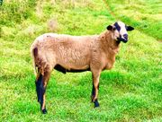 junger Schafbock Barbados Black Belly
