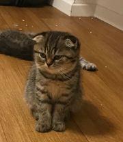 Unikat getigert Scottisch Fold Kitten