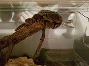 Schlange zu verschenken