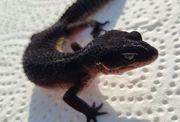 Leopardgecko MS Black Night Weibchen