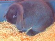 Zwergwidder Kaninchen Geschwisterpaar