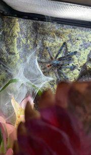 zwei Caribena versicolor weibchen