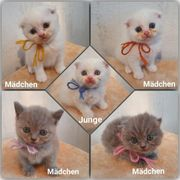 BKH Kitten und Scottish Fold