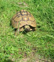 Weibliche griechische Landschildkröten zu verkaufen