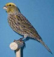 Suche Lizard Kanarienvogel Hahn oder
