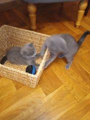 Zwei Scottish Fould BKH Kätzchen