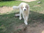 Pyrenäenberghund Welpen - 4 Monate