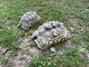 pantherschildkröten abzugeben