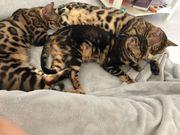 Drei wunderschöne Bengalkatzen abzugeben - AUCH
