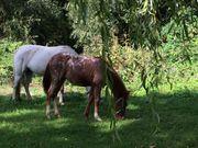 Pony Kinderpony Mutter POAs