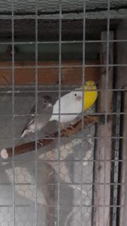 Bitte Kanarienvögel Raza Espanola
