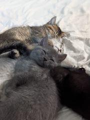 Liebevolle BKH-Scottish Kitten suchen nach