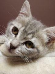Reinrassiges BKH Kitten Katzenbaby Mädchen