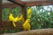 Ziegensitiche in gelb