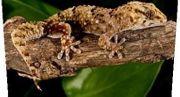 Bibron Gecko Weibchen auch Tausch