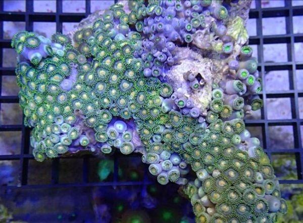 Korallen Zoanthus