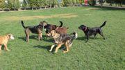 Hundespielstunde für verträgliche erwachsene Hunde