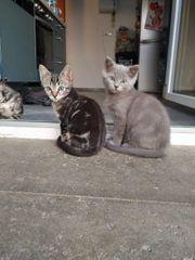 Bengal Heilige Birma Mix Kitten