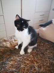 Hübsche Perser-Mix Kitten