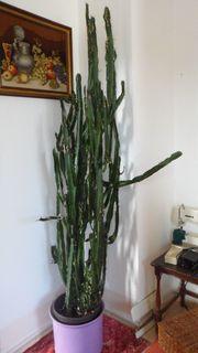 Kaktus 2 0 m Höhe