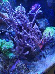 Korallen aus eigener Nachzucht