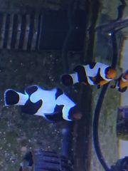 Meerwasser Ocellaris Black Davinci Premium