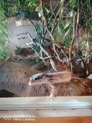 Leopardgecko 1 0 Mack Super