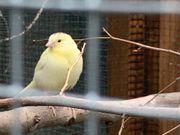 Verkaufe junge Kanarienvögel Wildfarben Gelb