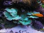 korallen lps sps weiche krustenanemonen