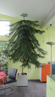 Große Araucaria Zimmertanne in Hydrokultur