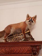 Fuchs Ausgestopfter Fuchs - prächtiges Exemplar