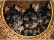 Yorkshire terrier mini welpen huh