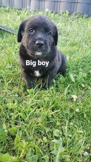 2 wunderschöne Labradore