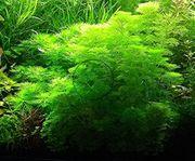 Kleine Ambulia Wasserpflanzen Versand Abholung