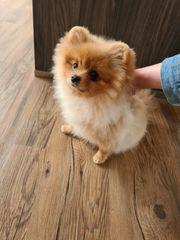 Kleiner Zwergspitz Pomeranian sucht ein